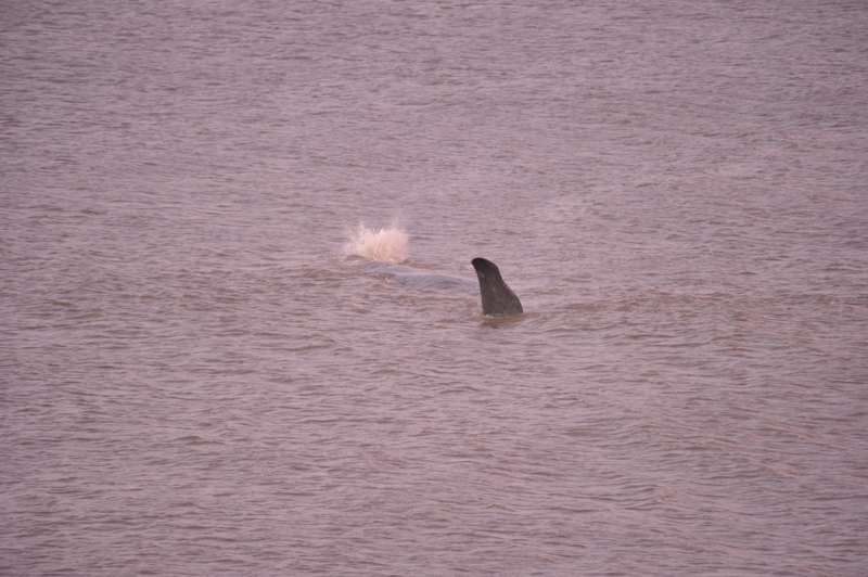 Sperm Whale Hunstanton Norfolk 22 feb 2016