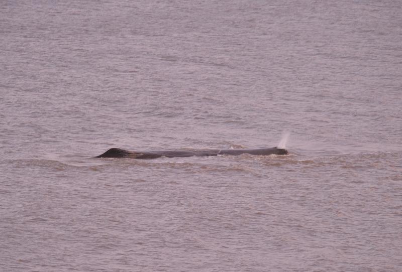 Sperm Whale Hunstanton Norfolk 22 feb 2016