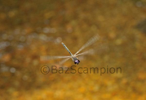 Sri Lanka Cascader dragonfly