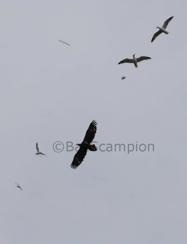Steller's Sea Eagle mobbed by Slaty-backed Gulls