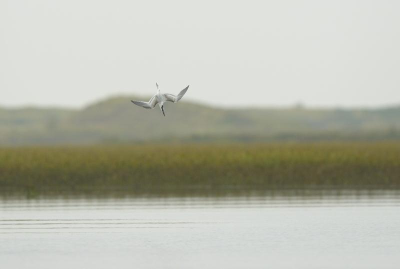 Sandwich Tern Diving