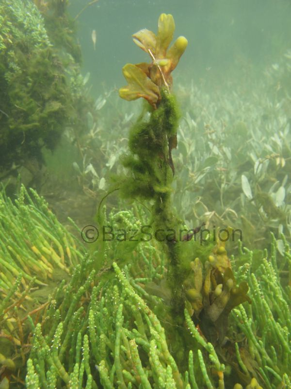The underwater saltmarsh