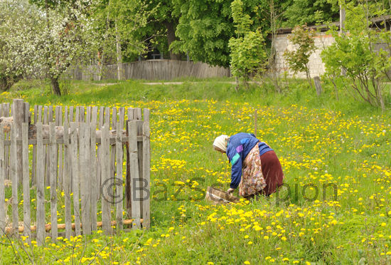 Belorussian woman collecting Dandelions