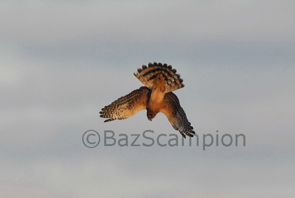 Northern Harrier 'diving for prey'