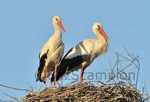 Pair of White Storks at Nest in Belarus