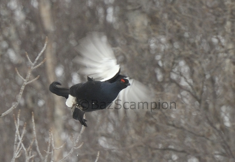 Male Black Grouse taking flight.