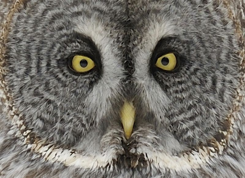 facial disc of a Great Grey Owl
