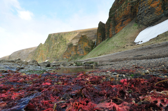 Red Seaweed and Lichen covered cliffs, Gladkovskoya Bay, Bering Island.
