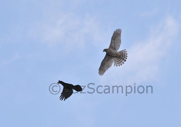 Northern Goshawk and Raven