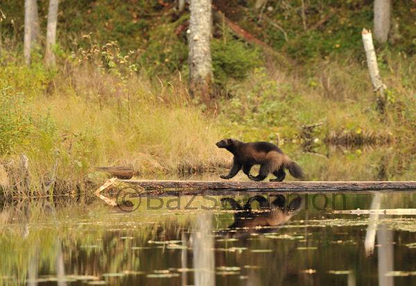 Wolverine crossing stream on a fallen log.