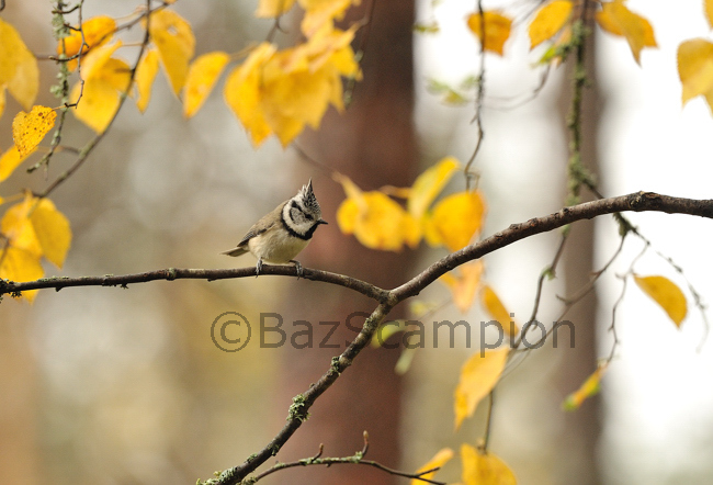 Crested Tit amongst autumn Birch leaves