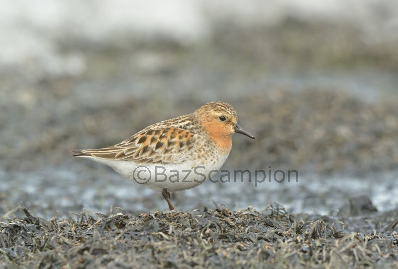 Male Red-necked Stint