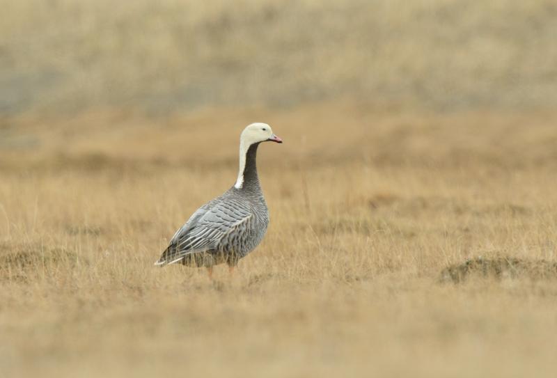 Emperer Goose