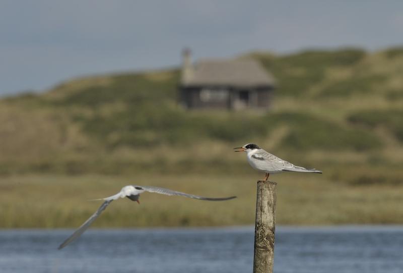 Common Terns on Hut Marsh Scolt Head Island