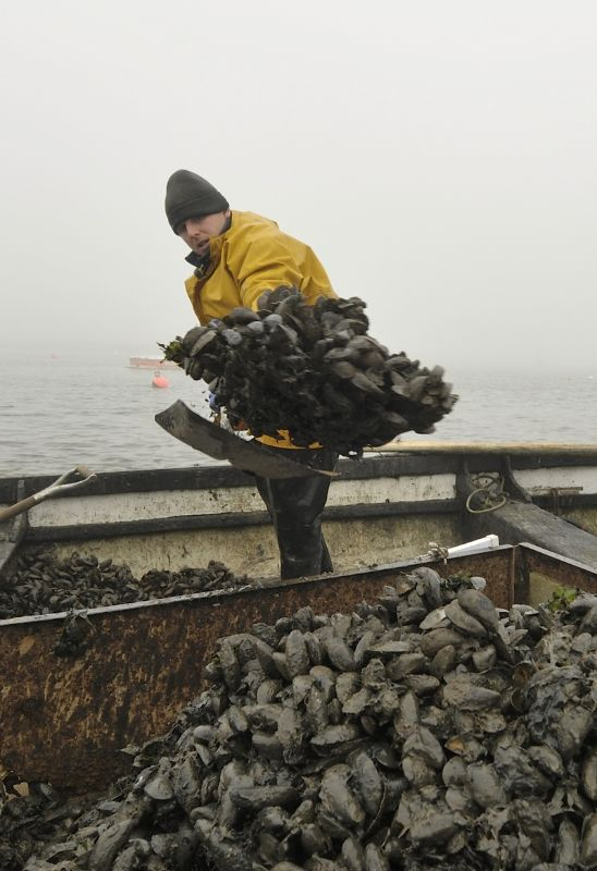 Ben Southerland shoveling Mussels from his boat into a trailor on Brancaster Staithe