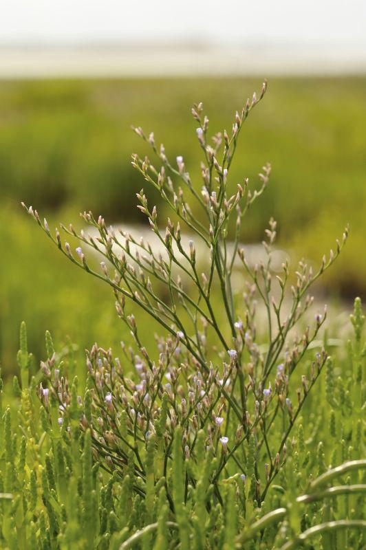 Lax-flowered Sea Lavender