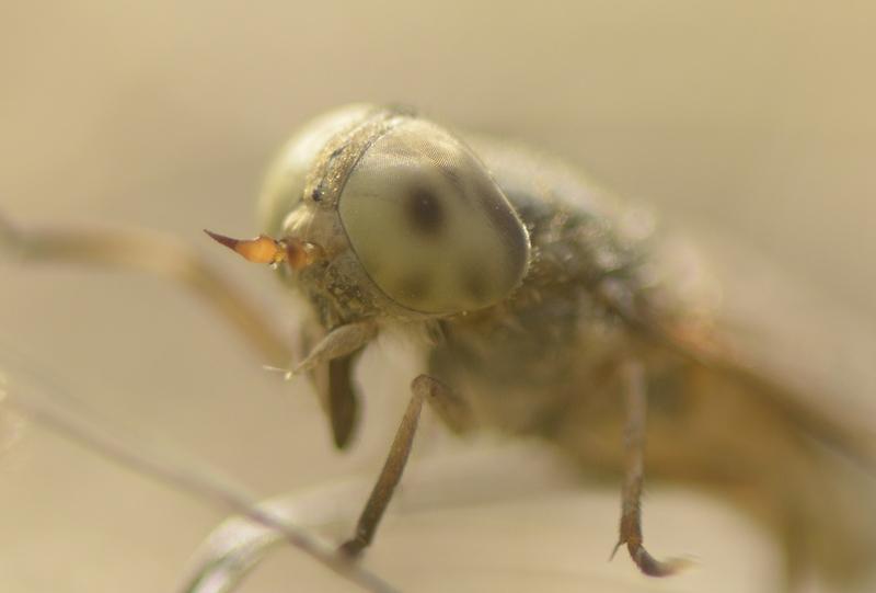 The Saltmarsh Horsefly