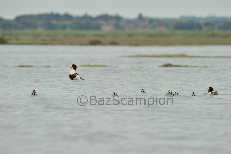 Female Shelduck and brood of chicks