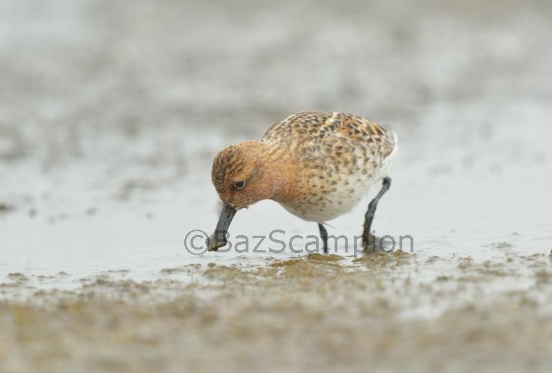 Spoon-billed Sandpiper Feeding