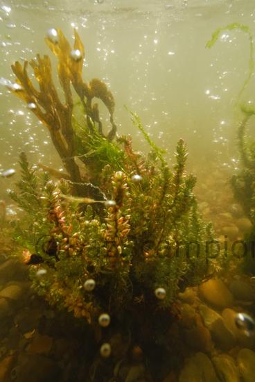 Shrubby Seablight,Sueda underwater