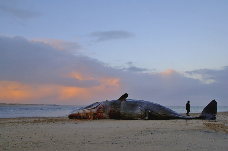 Male Sperm Whale Scolt Head Feb 2006