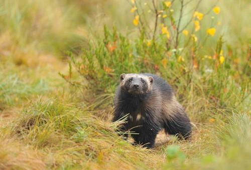 Wolverine in Taiga Forest, Finland.