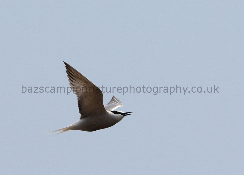 Summer plumage Aleutian Tern. Onychoprion aleuticus.