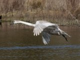 Juvenile Mute Swan in Flight