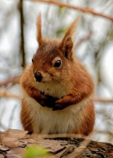 Red Squirrel I