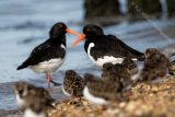 Oystercatchers and Turnstones