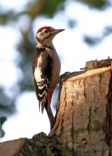 Greater Spotted Woodpecker II