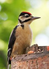 Greater Spotted Woodpecker I