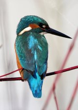 King Fisher III
