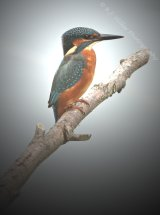 King Fisher I
