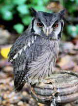 White Faced Scops Owl 002