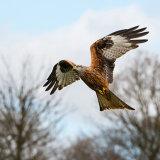 Red kites #3