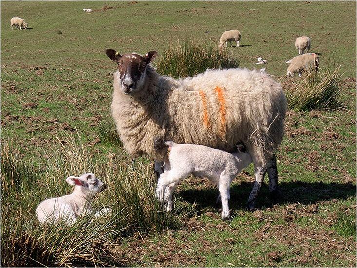 Third:  Lamb chops
