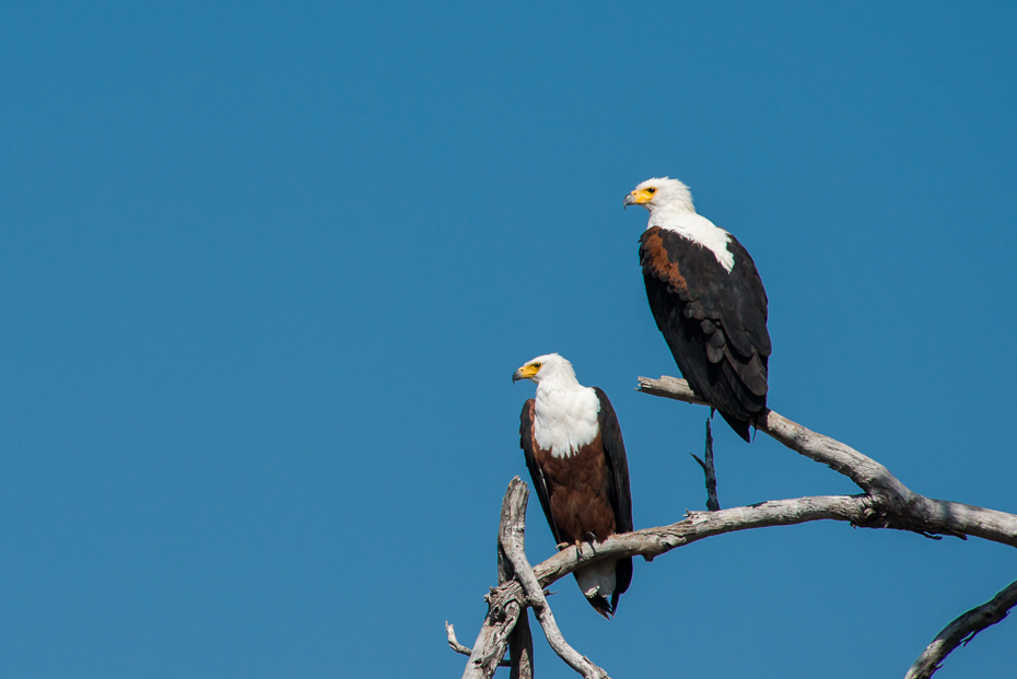 African Fish Eagle, Zambia