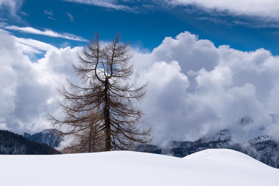 Forked Tree, Pralongia, Dolomites, Italy