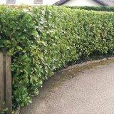 Tightly trimmed laurel hedge