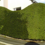 Large mixed hedge shaped