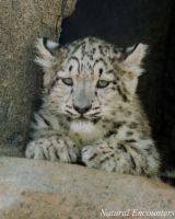 Snow Leopard cub, Ajendro
