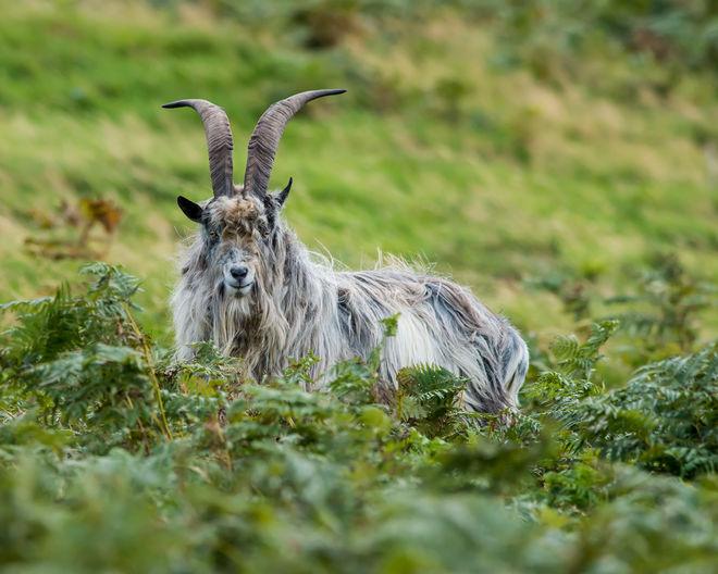 Cheviot Wild Goat