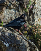 Chough on Clifftop