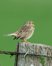 Corn Bunting in full song