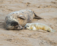 Female Grey Seal with new born pup