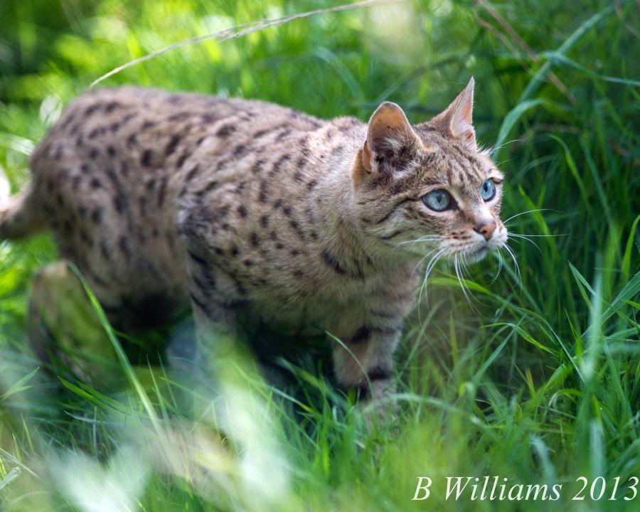 Indian Desert cat