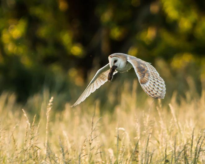 Barn Owl Victory
