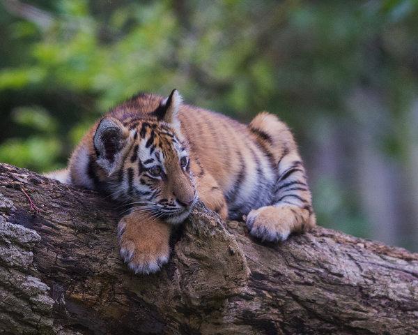 Tiger Cub on Branch