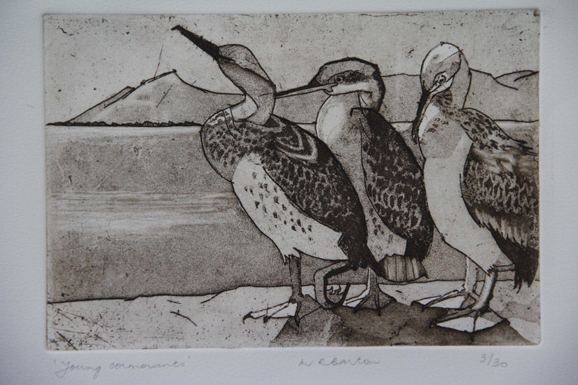 Immature Cormorants